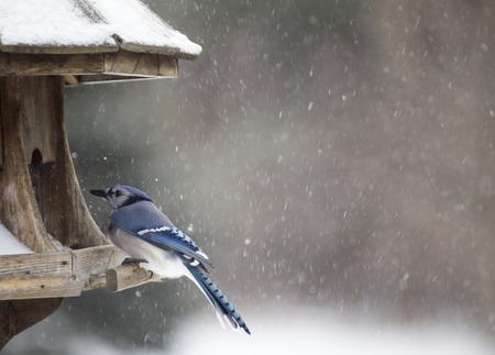 bluejay: Blue Jay at Bird Feeder Winter Snow Storm Canada