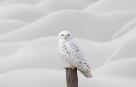 Sneeuw Uil op hek post in de winter Canada