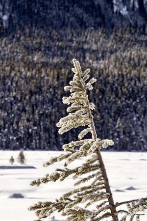 arbol de pino: Árbol de pino en la nieve del invierno cubierto Alberta