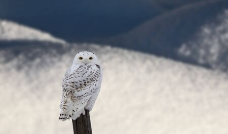 fence post: Snowy Owl on Fence Post in Winter Canada