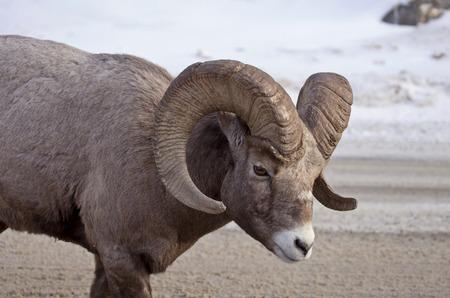 rocky mountain bighorn sheep: Big Horn Sheep Rocky Mountain Canada Winter