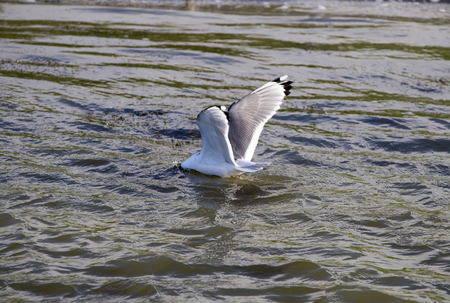 Tern diiving  for food in pond Canada