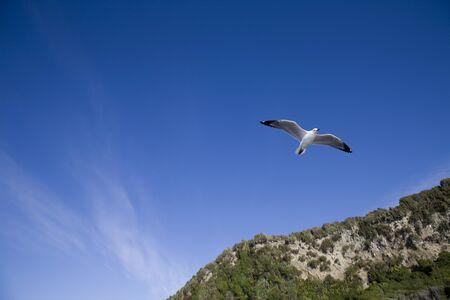 Seagull in Flight New Zealand blue sky clouds