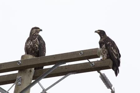 Bald Eagle British Columbia gathering place Ladner Richmond
