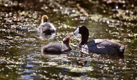 swampland: Baby Coot Waterhen in a Saskatchewan Canada Pond