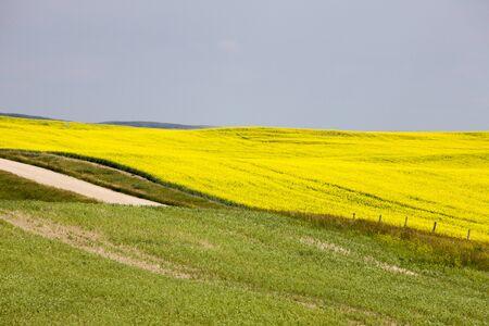 카 놀라 필드 서스 캐처 원 명승 노란색 꽃 캐나다