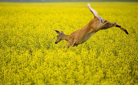 canola: Deer in Canola Field yellow flower crop