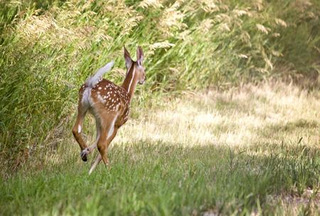 deer spot: Deer Fawn Running in Saskatchewan Canada