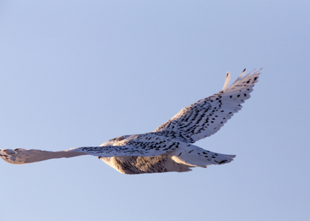 Snowy Owl in Flight in Winter Saskatchewan Canada