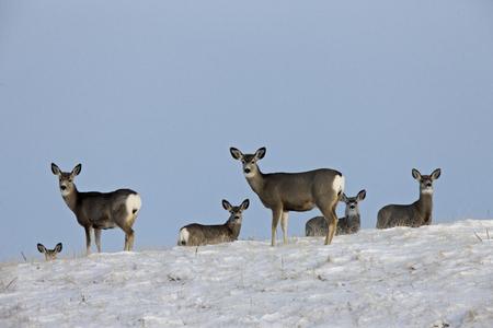 Deer in Winter prairie in Saskatchewan Canada