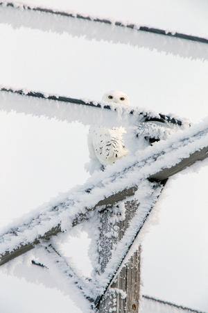 Winter Frost Saskatchewan Canada ice storm Snowy Owl Reklamní fotografie