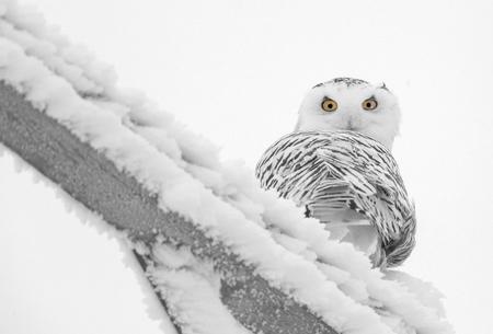 Winter Frost Saskatchewan Canada ice storm Snowy Owl 免版税图像