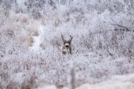 Winter Frost Saskatchewan Canada ice storm deer Reklamní fotografie