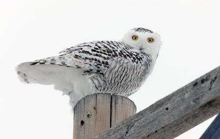 Schneeeule Winter Kanada Pole thront Saskatchewan Standard-Bild