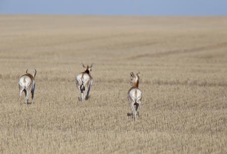 Prairie Pronghorn Antelope In Spring Saskatcherwan Canada
