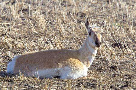 Pronghorn Antelope Prairie Laying in Farmers Field Foto de archivo - 124977741