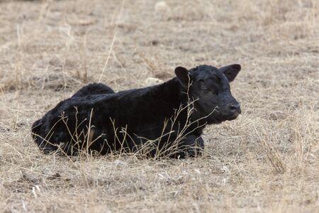 Cow Calf in field winter Saskatchewan newly born