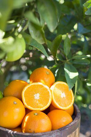 vintage: Wooden bucket full of oranges against green foliage of an orange tree LANG_EVOIMAGES