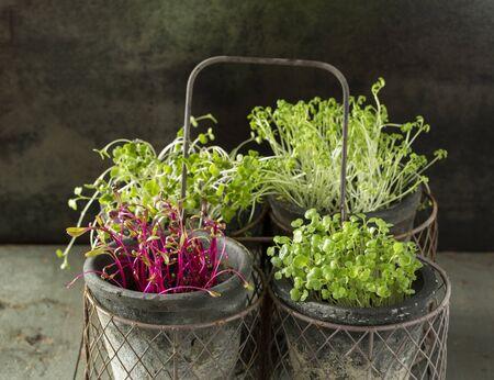 Cress, Beet, Raddish and Rocket Microgreens.