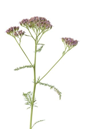 milfoil: Achilla millefolium, milfoil