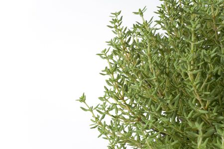 vulgaris: Branches Of Thymus Vulgaris On White Background with space for text