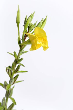 Evening primrose with yellow flower on white background photo