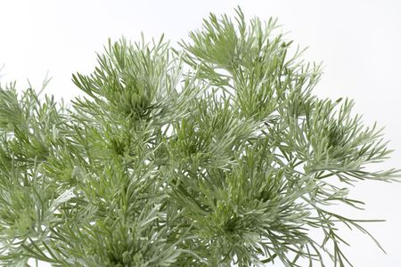 Southern wormwood Artemisia schmidtania on white background photo