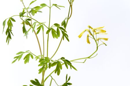 Ruta graveolens with yellow flowers on white background Stock Photo - 5425404