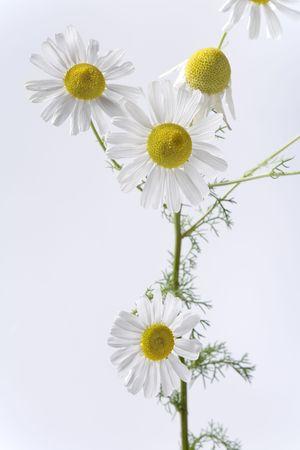 matricaria recutita: Camomilla piante con fiori su sfondo bianco