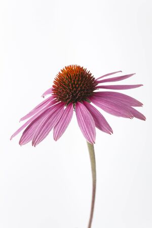 One Purple Echinacea Flower On White Background photo