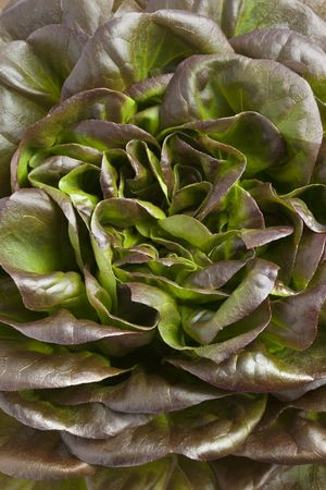 Close up of fresh red Salanova lettuce Stock Photo - 5623592