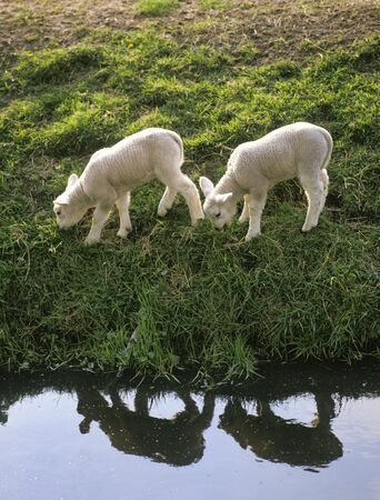 waterside:  Two little lambs at the water-side