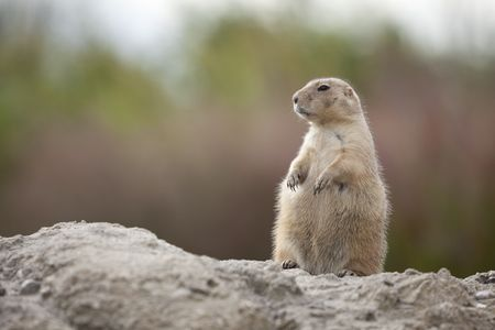 Standing groundhog Stock Photo - 6013761