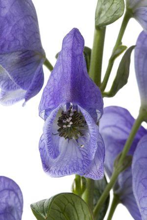 poisonous: Aconitum napellus, Monkshood, poisonous plant