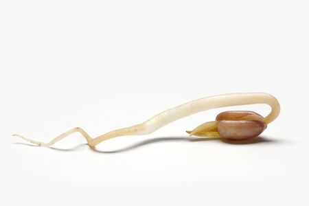 One whole bean sprout, seedling close up Stock Photo - 6267185
