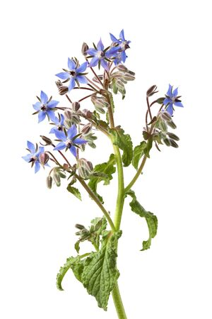 Flowering Borage isolated on white background Stock Photo - 7428627