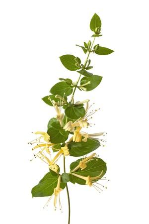 honeysuckle: Flowering yellow Honeysuckle isolated on white background