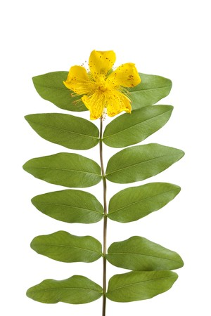 Hypericum flower and leaves isolated on white background photo