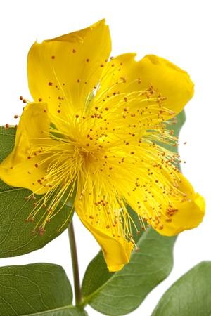 Hypericum flower close up on white background photo