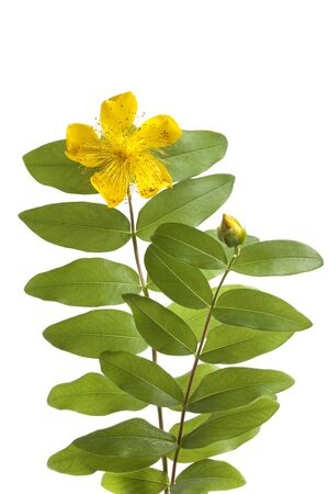 St John's wort flower and bud isolated on white background Stock Photo - 7428690