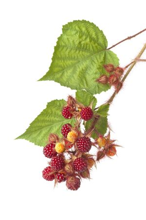 edible leaves: Branch of red edible berries of a Japanese Wineberry Rubus phoenicolasius with leaves on white background Stock Photo