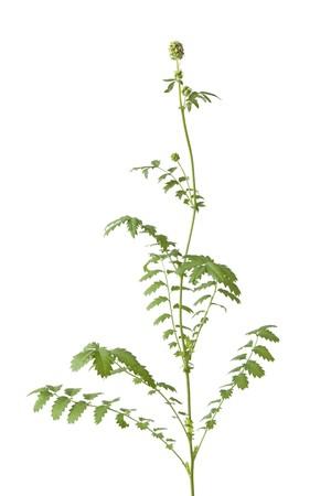 sanguisorba: Flowering Sanguisorba minor, Small burnet isolated on white background