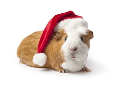 świnka morska: Åšwinka z Christmas kapelusz na biaÅ'ym tle