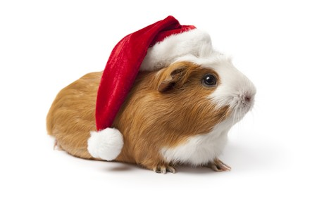 Guinea Pig with Christmas hat on white background