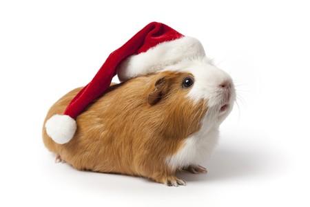 cappello natale: Cavia con cappello di Natale su sfondo bianco