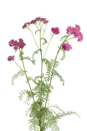 milfoil: Flowering pink milfoil on white background Stock Photo