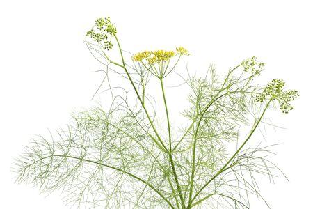 finocchio:  Finocchio fioritura a sfondo bianco Archivio Fotografico