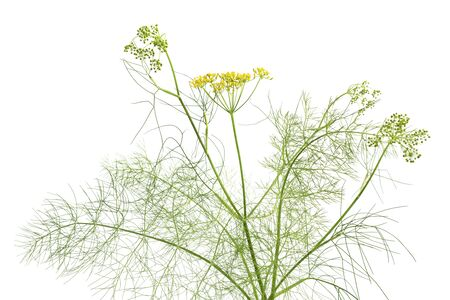 foeniculum:  Flowering fennel at white background