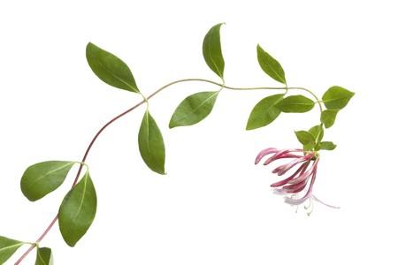 honeysuckle: Flowering pink Honeysuckle isolated on white background