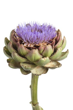 artichoke:  Purple artichoke flower on white background